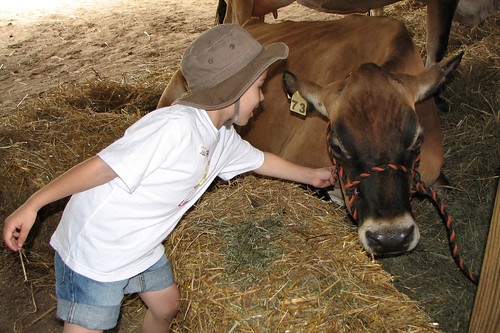 Gently petting a cow