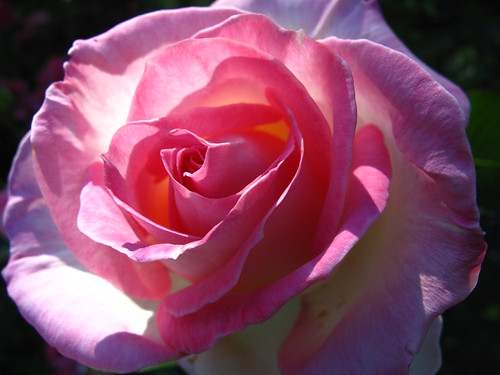rose, evening light