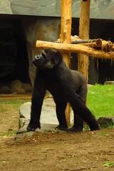 358 - 2017 07 01 - Gorilla (Mambele)