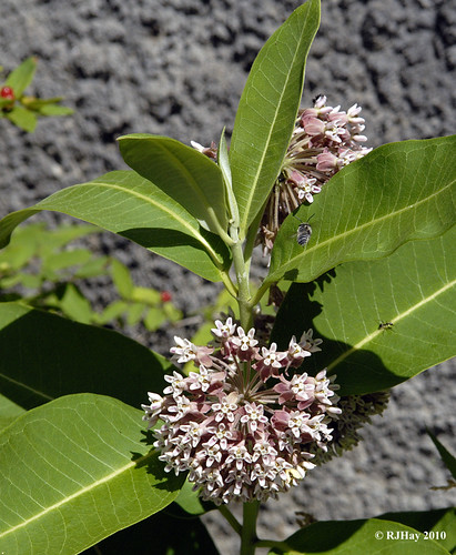 Common Milkweed in bloom by pathway below Parliament Hill on Canada Day 2010