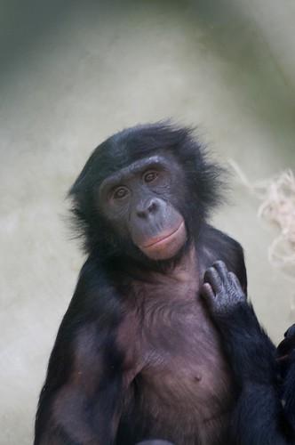 Bonobo im Kölner Zoo