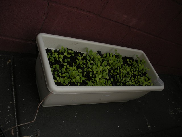 Baby lettuce in the back patio
