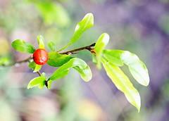 2010-10-15 10-32-50 - IMG_2370 Pomegranate fir...