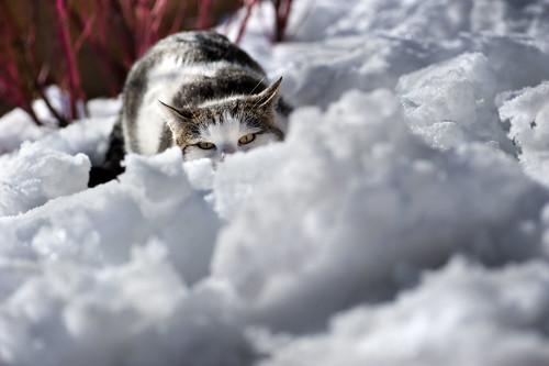Per la serie Natura Selvaggia Fratella presenta: il puma delle nevi della Val Casies: l'agguato.