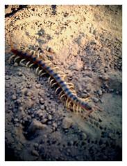 centipede (three)
