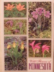Minnesota Wildflowers Postcard