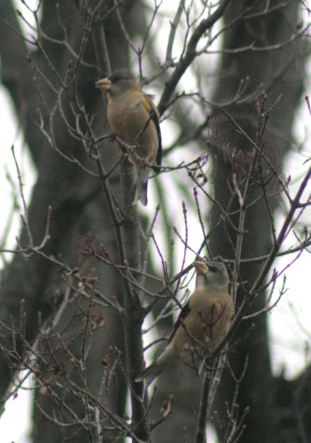 Evening Grosbeak females