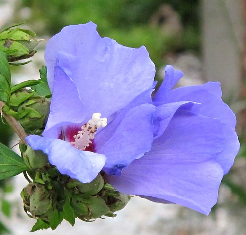 blue hardy hibiscus