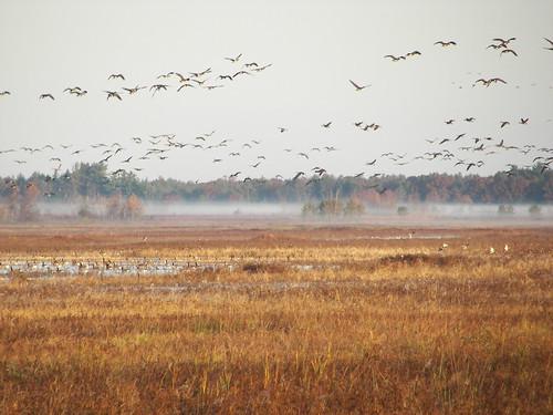Geese at dawn, Rynearson Pond #2
