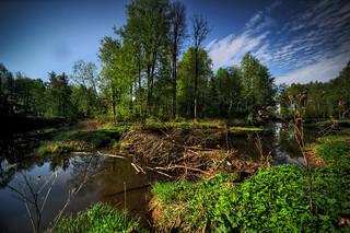 beaver dam Lama river, Russia, Moscow region