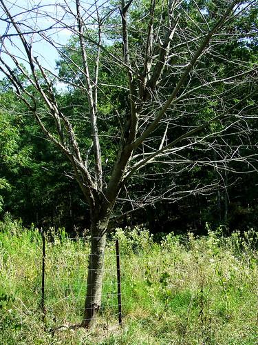 dead cherry tree inside a fence