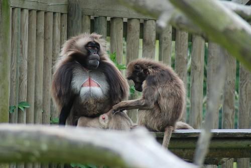Dscheladas im Howletts Wild Animal Park