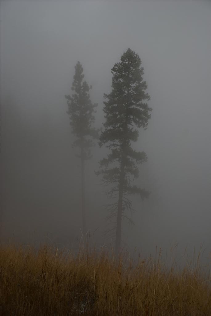 Pines in cloud
