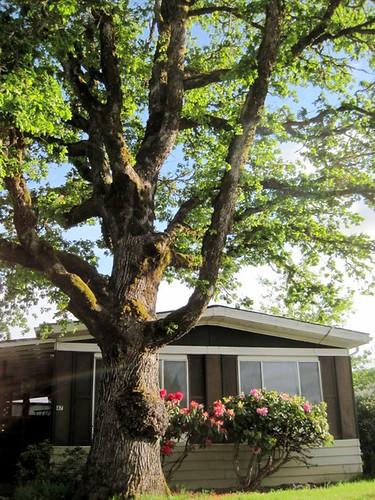 Shalimar Trees