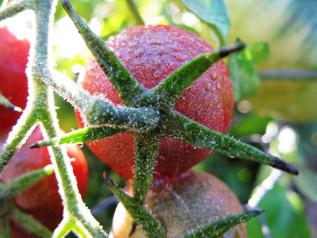 Bedazzled Tomato