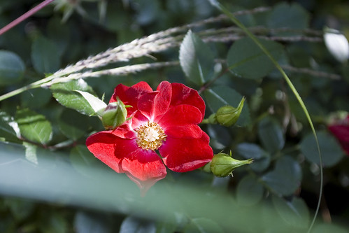 Red Rose with Miscanthus 'Little Kitten'