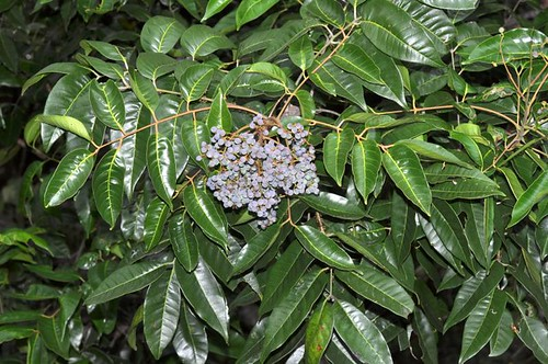 Euroschinus falcata (Ribbonwood)