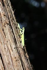 三保市民の森のハラビロカマキリ