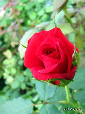 Island Rose: Red Rose