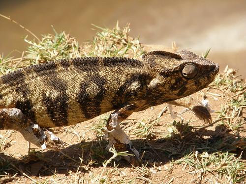 Camaleón de Oustalet (Furcifer cf. oustaleti)