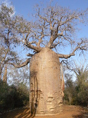 Baobab (Adansonia rubrostipa)