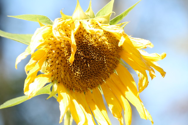 fading sunflower