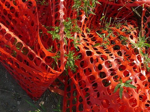 Ragweed in construction webbing