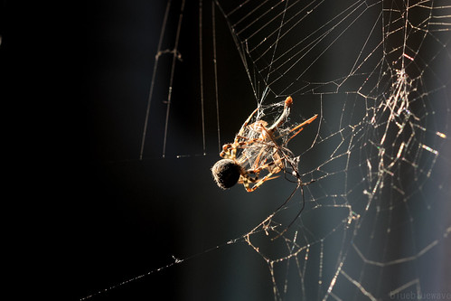 Spider wraps crane fly in spider silk
