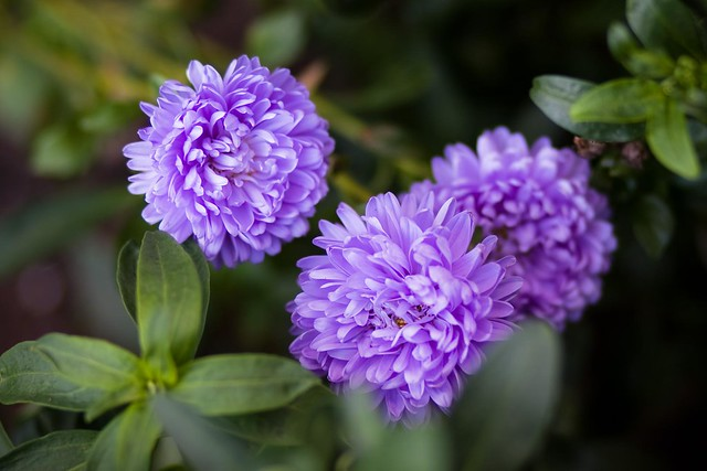 {263/365} purple flowers
