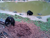 Ted & Lucky - Black Bears At North American Bear Center