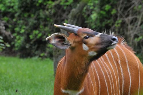 Bongo im Howletts Wild Animal Park