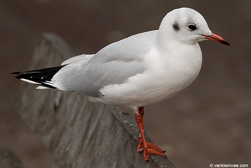 Black-headed Gull, M[Arnhem 3618180]