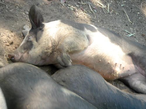 Piggildy-Wiggly Snuggly