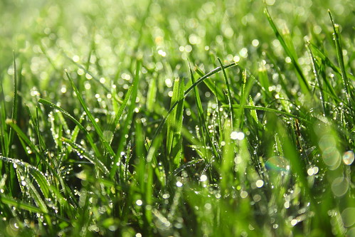 Dew on Grass 1