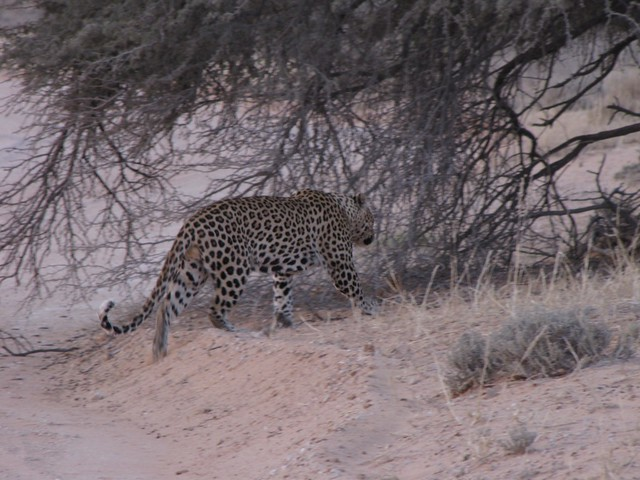 Photos of leopards