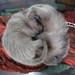 Baby raccoons, ying/yang
