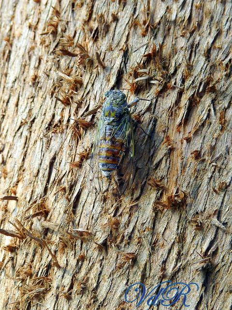 La cicala blu...Provenza