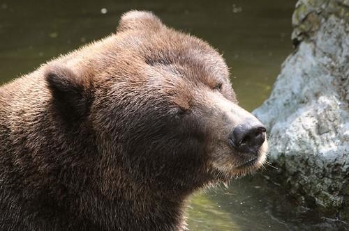 Grizzly Bär im Kölner Zoo