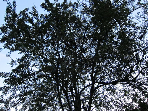Hawthorn Tree at Evening