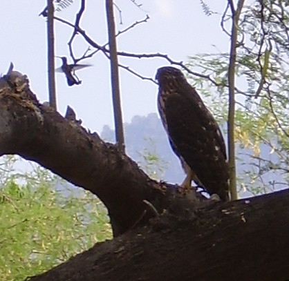 Hawk and Hummingbird