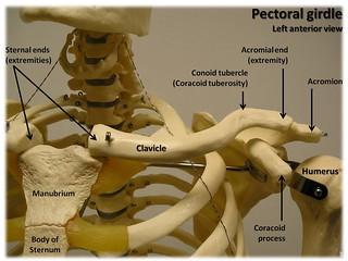 Bones of the pectoral girdle, anterior view wi...