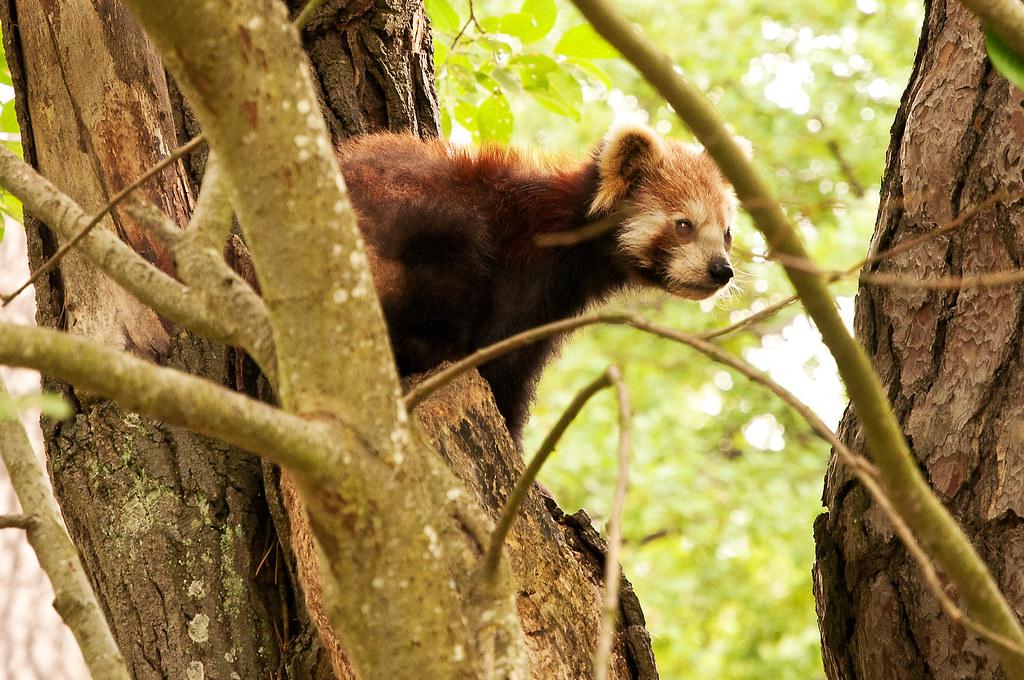 Liten Panda - Red panda