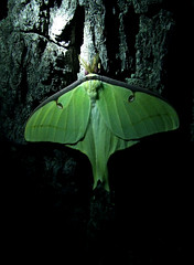 Luna moth on black walnut tree