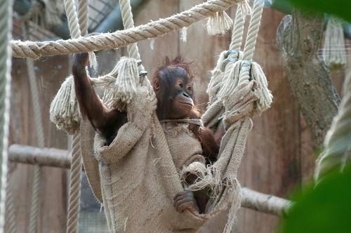 Borneo Orang-Utan Wousan im Kölner Zoo