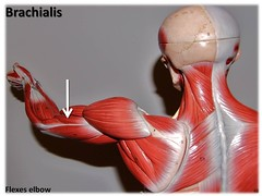 Brachialis - Muscles of the Upper Extremity Vi...
