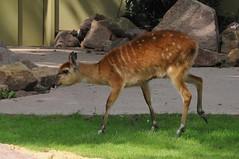 Sitatunga im Kölner Zoo