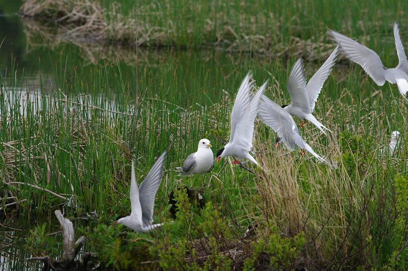 Arctic Tern Composite