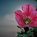 #motljus - Petunia