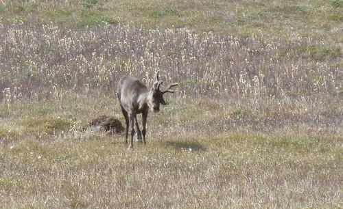 Caribou #2
