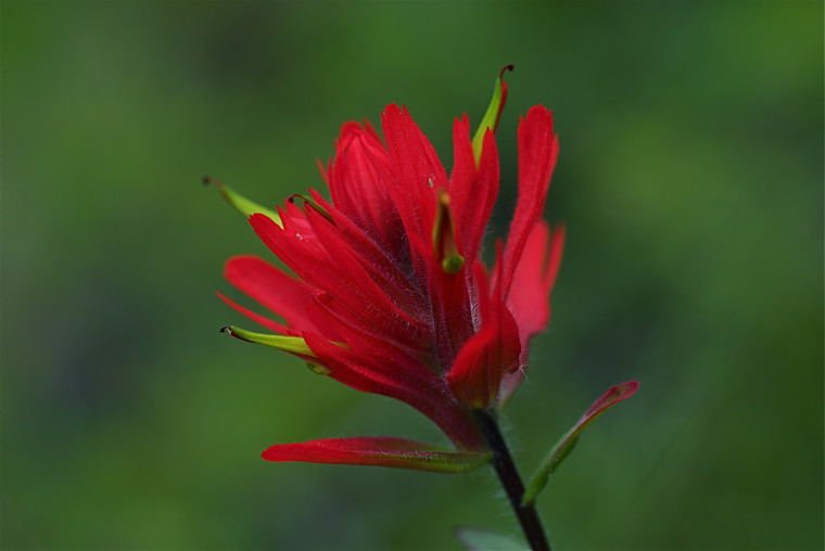 Red Indian Paintbrush
